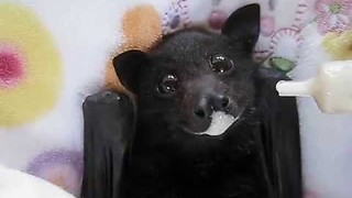 Cute Rescued Bat Enjoys a Smoothie - Video