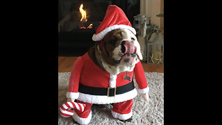 Festive bulldog dresses up as Santa Claus