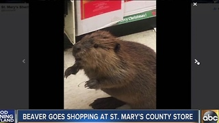 Beaver goes shopping at store in St. Mary's County - Video