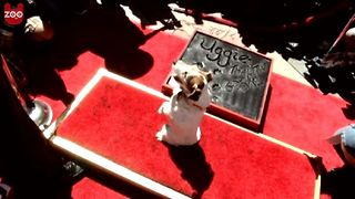 Uggie Gets Star on Walk of Fame