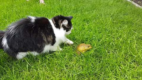 Gentle cat attempts to befriend bullfrog