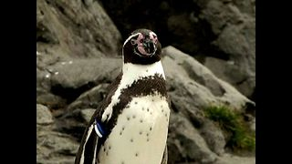 Penguin Escapes From Zoo - Video