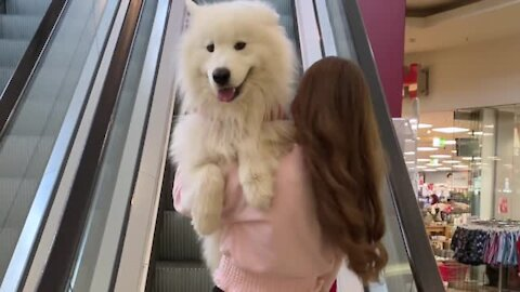 Felix the Samoyed adorably gets carried up the escalator