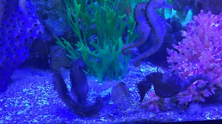 Seahorses Attraction (mating or courting ritual...) - Video