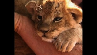 Man Moves Out Of Lions' Den - Video