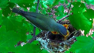 This tiny bird is a master nest weaver!