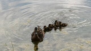 Two ducklings families + super tiny ducklings