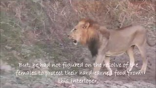 Male Lion Tries to Steal a Kill From Female Pride - Video