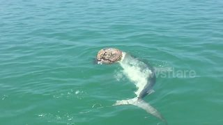 Massive shark tries to eat dead turtle - Video