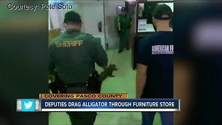 Deputies drag alligator through furniture store in Holiday - Video