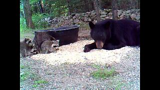 Raccoon mom & babies snack together with wild black bear