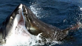Shark Vs Shark: Giant Great White Attacks Another Great White - Video