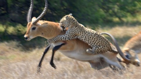 Leopard Attack: Antelope Narrowly Escapes Death