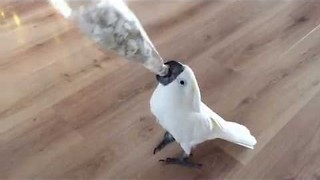 Harley the Cockatoo Goes Nuts for Hidden Treats - Video