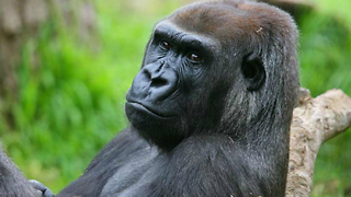 Gorillas Find Love On Valentine's Day - Video