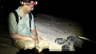 Scientists Work to Help Sea Turtles Safely Lay Eggs at Remote Island - Video