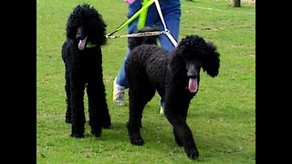 Blind Poodle Gets Guide Dog - Video