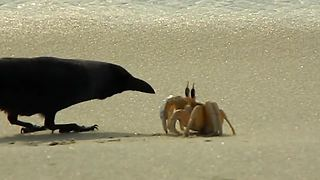 Lone crab fends off onslaught of hungry crows - Video