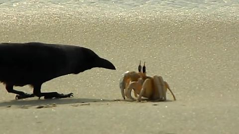 Lone crab fends off onslaught of hungry crows