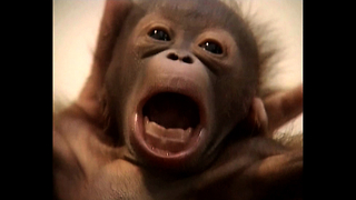 Cute Baby Orangutan - Video