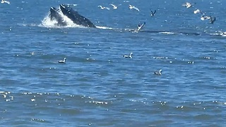 Humpback whales put on feeding spectacle for beach visitors