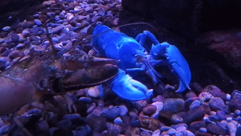 Rare albino lobster forages for food
