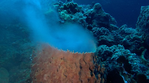 Witnessing Barrel Sponge Spawning, Sexual Reproduction Frenezie in Cozumel, Mexico