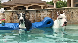 Funny Great Danes Enjoy Five O'Clock Somewhere
