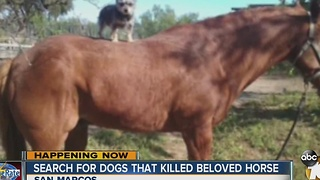 Search for dogs that kill horse - Video