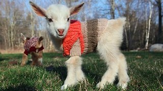 Baby Goats Delight in Their new Sweaters - Video