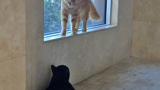 Cat walks backwards to avoid cat fight - Video