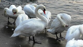 Swans clean their feathers