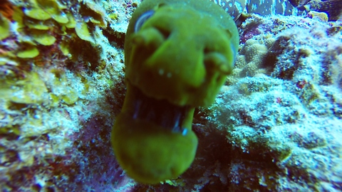 Hungry Moray Eel closely investigates camera