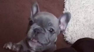 Ever hear a puppy bark like this before?! - Video