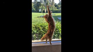 Funny Cat stretches and talks while hunting a lizard