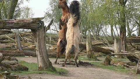 Fighting wild Konik horses demonstrate their power