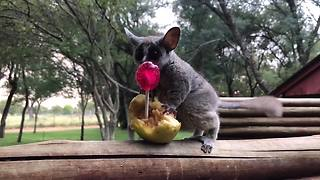 Family of galagos enjoy tasty sweet treats - Video