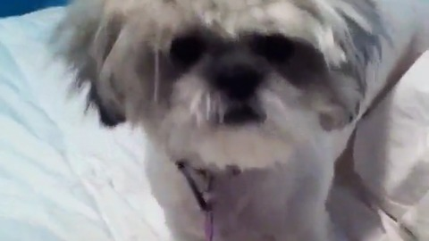 Dog with crazy hair gets comfy in bed
