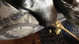 Blind dog wakes from slumber when treats appear at her nose - Video