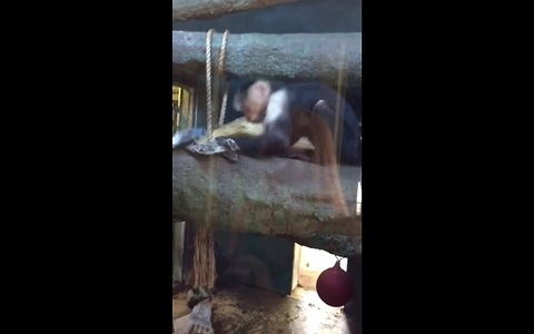 Hilarious monkey destroys newspaper at zoo