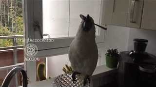 Talented Cockatoo Twirls Spoon in Her Mouth - Video