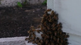 Dog dies from bee attack - Video