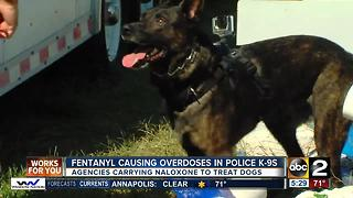 Synthetic opioid fentanyl causing overdoses in police K-9s - Video