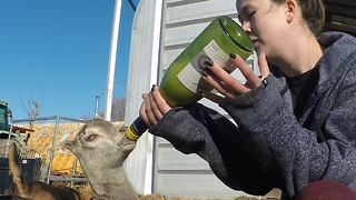Violet the baby goat adorably drinks from bottle - Video