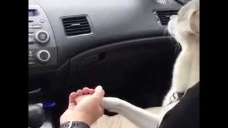 Dog Loves to Hold Hands in car - Video