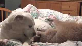 Raccoon and Bulldog Cuddle Up in Bed - Video