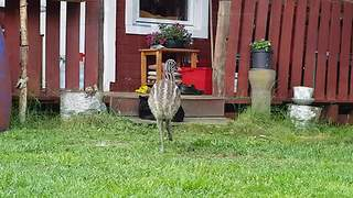 Baby Emu Is Determined To Befriend A Cat, Doesn't Take No For An Answer - Video