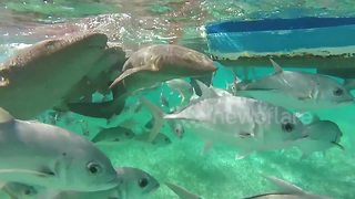This is what swimming with dozens of sharks looks like - Video