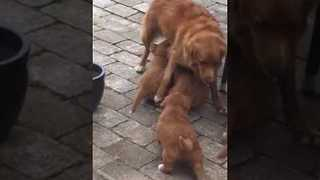 Hungry Pups Won't Let Poor Mama Finish Her Dinner - Video