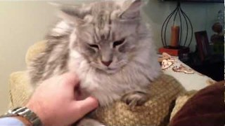 Tail Talk: Learn the Body language of Maine Coon Cats - Video